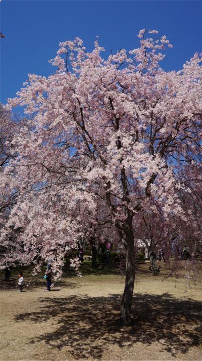 花をいっぱいつけた枝垂れ桜も。<br />この桜は大人気で皆が下に立って写真を撮っています。<br />だからか、この下にシートを広げて独占してお弁当食べよう、という人は居ないの。<br />みんなできれいな桜をシェアです。<br />
