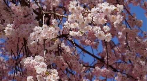 枝垂れ桜の細かい花が沢山咲いている所。きれいですねぇ。