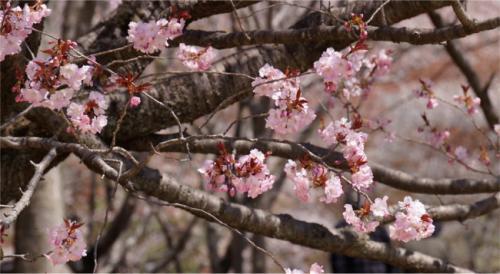 これも山桜。<br />紅い葉っぱがまた色味をプラスしているのです。<br />