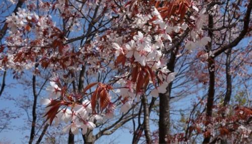 ソメイヨシノもいいけど、山桜もいいでしょう〜。