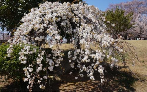 真っ白な枝垂れ桜。<br />木は小さめだけど、花がたっぷりで素敵です。<br />