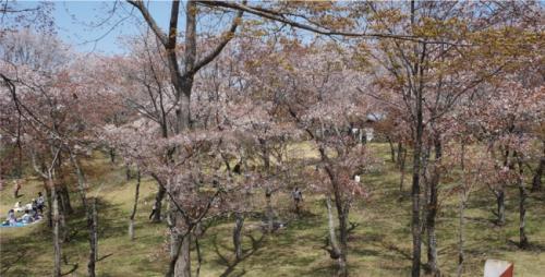 沢山の山桜。斜面に植わっています。