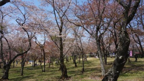 こんな山桜の沢山ある公園で雅なお花見ができる場所は、関東ではここだけではないでしょうか?