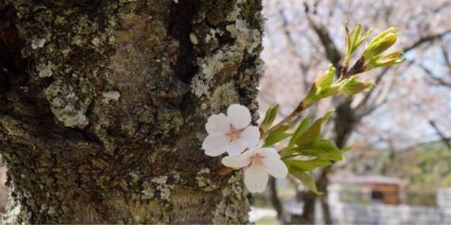 苔に覆われた幹から新しい芽と花が。