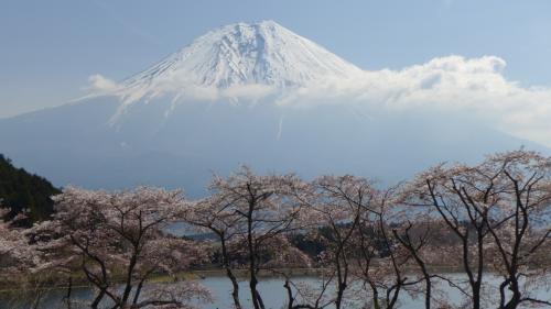湖畔を半周して湖の北側駐車場付近まできた。<br />満開の桜越しに、富士が堂々とその姿を現してくれていた。