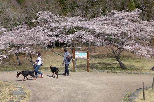 湖畔南西側。<br />すぐ近くには「国民休暇村・富士」もある。<br />犬を連れての散歩の方も桜を満喫しているようだった。