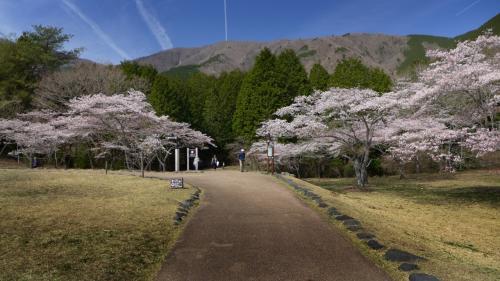 同上の場所から。<br />散策路からの桜がこのように見られる。<br />絶景だ。