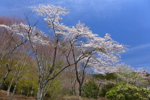 同上。<br />北側駐車場付近で。<br />桜満開の上、新緑も眩しい。