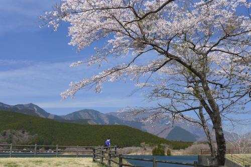 南側から、桜越しに田貫湖側を見る。