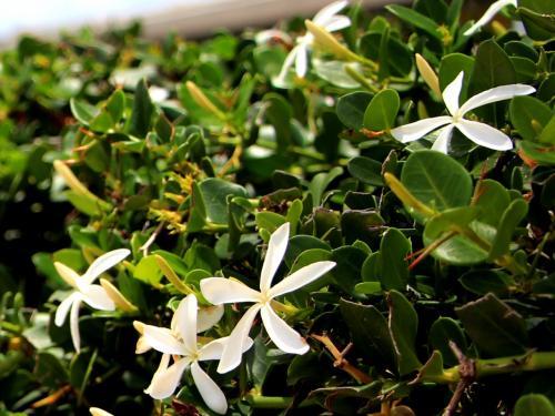 花弁の大きな白い花もある。<br /><br />南国の花と云うと、赤の色を想像していたが、思いの外、白系の花が多い。<br />