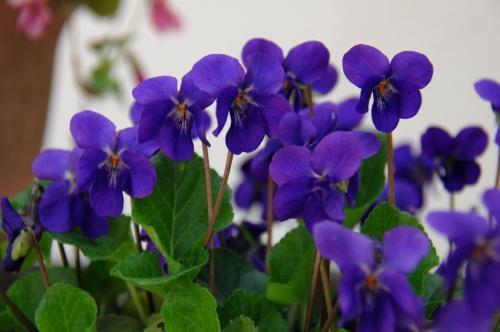 昨年ウチにやって来たスミレちゃん。<br />植木鉢いっぱいに広がって満開です♪<br />良い匂いも。