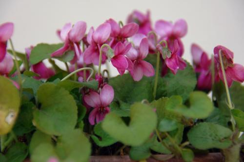ピンクの。<br />前からウチに居る子。<br />匂いは紫のよりも4,5倍強くて良い香りです♪