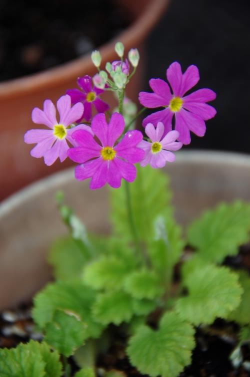 サクラソウが咲き始めました!<br />漸く春の気配も色濃くなってきてますね。
