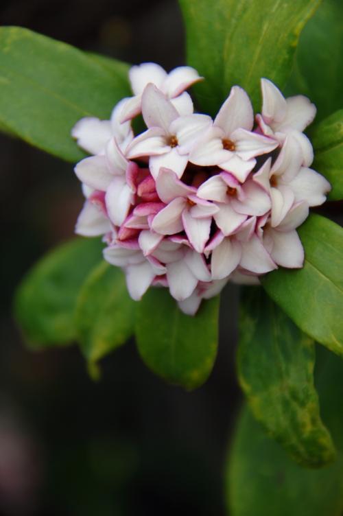 そして春を告げる沈丁花も咲き始めています。