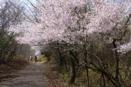 桜咲く湖畔ロードだ。