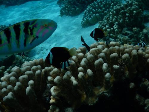 クマノミ と左にいる魚、セナスジベラです。<br />こいつがどこにでも登場して来るんですよねー