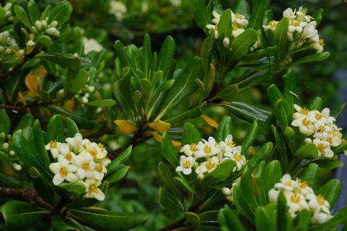 島のあちこちに咲いていたトベラ。<br />強い甘い香りがします。