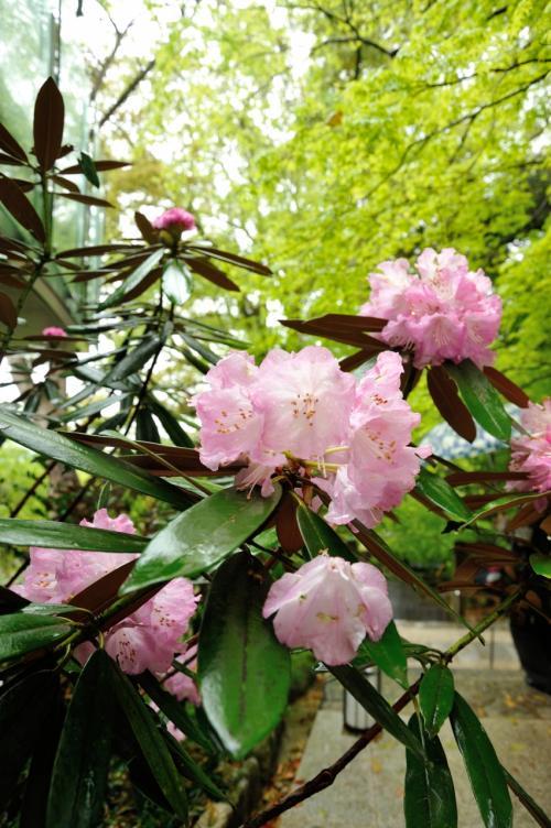 シャクナゲの花が咲く季節に・・・<br /><br />新緑の中 彩りをそえて ひときわ可憐にたたずんでいました。