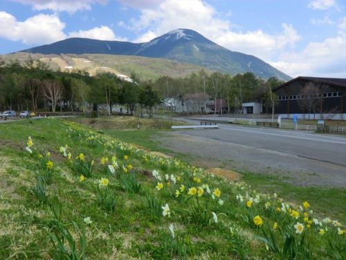 そして、最終目的地は女神湖である。湖畔の堤防には水仙(写真)が咲き乱れている。ここまで来ると空気が冷たい。<br />