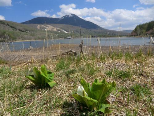 早春に咲く水芭蕉(写真)が終わり、女神湖にもいよいよ春が来た。すると下界の水田には田植えのために水が張られる。実は女神湖は農業用の溜池なので、ここの水が水田に使われるのである。<br />