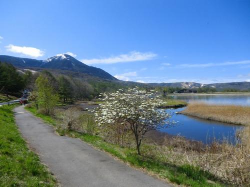もう部屋でじっとしておれない。湖畔の遊歩道(写真)に下りる。白くて可憐な花は「スモモの木」の花である。春先の時期、女神湖周辺によく見かける花である。