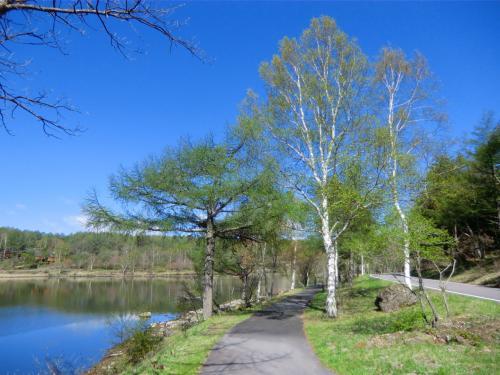 ひんやりした空気の中、元気よく湖畔(写真)の散歩をする。白樺の若葉は薄い緑色をしており、いかにも若々しい。カラマツも一斉に芽吹きを迎えている。