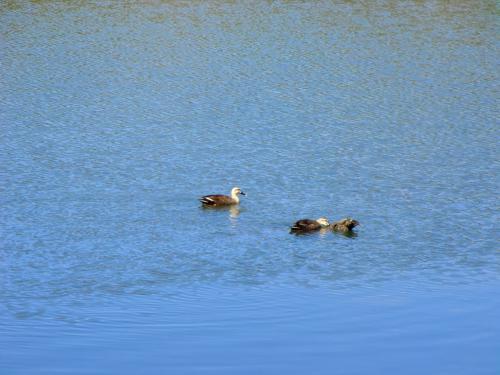 女神湖のカモ達(写真)は冬でも夏でもいる。ここに定住しているのであろうか?私は昔から「渡り鳥人生」に憧れた。「春から秋までは日本にいて、寒い冬は暖かい南の島へ…」私の夢想は今だに実現していない。