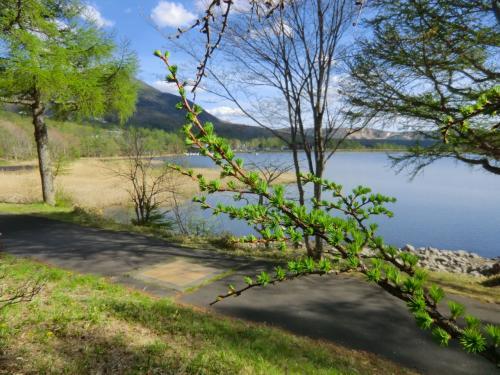 女神湖畔を散歩しながら「お安く高原リゾートを楽しむ方法」を考えるのは実に楽しい。カラマツの芽吹き(写真)をじっくり鑑賞する。