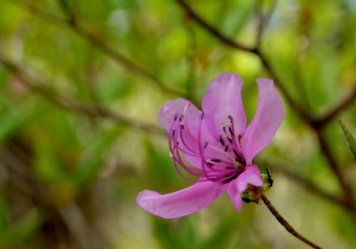 トウゴクミツバツツジ。きれいなマゼンタ色のツツジで、花が終わる頃若葉が枝先から出るが、葉の数が3つなのでミツバツツジと呼ばれる。