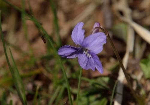 登山道の足元には、ところどころタチツボスミレが咲いている。