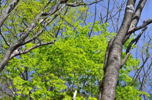 新緑がまぶしいほどに鮮やかで美しい。<br />久しぶりのハイキングだが、初夏の山を吹き抜ける薫風が心地よい。