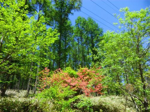 私は周囲の自然を観察しながら、のんびり、ゆっくりペダルを回す。頑張る必要もなく、急ぐ必要もない。すべて自分1人のマイペースで心と体のおもむくままに走る。<br />写真:咲き始めたレンゲツツジ