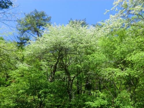 八ヶ岳高原ラインの「天女山入口」付近の樹木が真っ白な花をいっせに咲かせている。