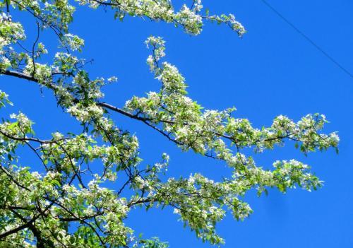 近くに地元の人らしき夫婦がいたので、花の名前を聞いてみた。すると「ヤマナシの花」だという。山になる野生の梨。そういえば、春先の「スモモの花」も「小梨の花」も白い。