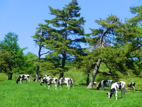 時々、草をはむ牛たちが見える。のどかな雰囲気で見ていると心が和む。