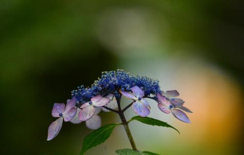 そろそろ終盤の紫陽花<br />