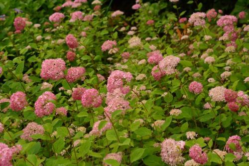ピンクアナベル<br /><br />普通のアナベルは白ですが、これは小ぶりでピンク。<br /><br />最新種だそうです。<br />