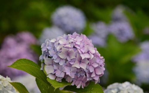 これも紫ですが、花弁の形が尖っていて、特徴的です。