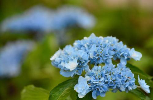 こちらは、八景島ブルー。<br /><br />八景島生まれの新種だそうです。<br />