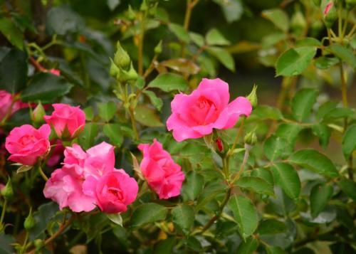 もうバラは終盤ですが、中には、これから咲くお花も。