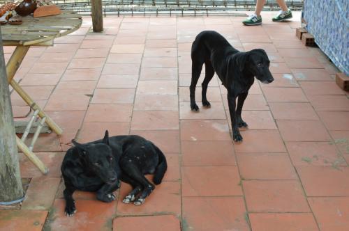 レストランにいた犬たち。<br />ベトナムの田舎町には、どこにもおとなしそうな犬がいて目の保養になる。