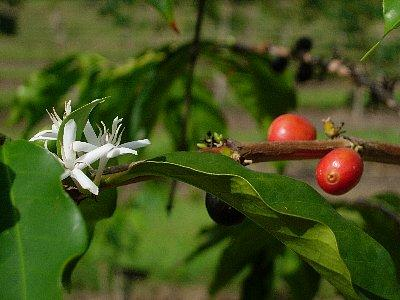 コーヒーの花と実<br /><br />コーヒー農園に行きました。コーヒーの実は収穫が終わったばかりで、殆どありませんでしたが、眺めの良い、素敵な場所でした。