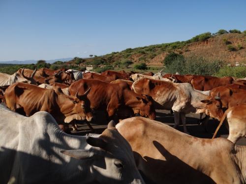 アルバミンチをすぐ出発すると、牛!牛だ、ギュウギュウだ。この後も牛の写真を撮り続けたのですが、さすがに飽きてきました。だって、冷静に考えたら、ウシですよ。うっしっし。