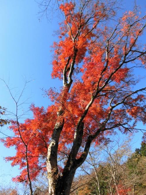青空に紅葉が引き立つなー