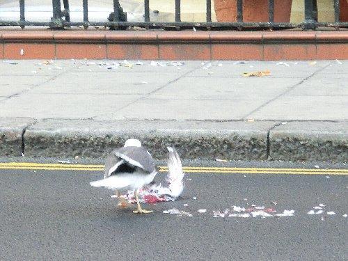 視界に羽がふわっと飛び散るのが見えたと思ったら、鳥の交通事故でした。隣のテーブルのおじいさんが私に「鳩が轢かれちゃったねぇ」、私も顔ランゲージで応答。