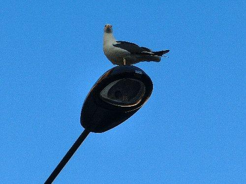 するとどこからともなくカモメが現れて、死んだ鳩の肉をつっついては飛んで行きます。結局一羽で全部たいらげてしまいました。