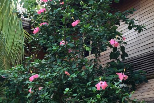 中庭に咲いていた南国特有の美しいハイビスカスの花