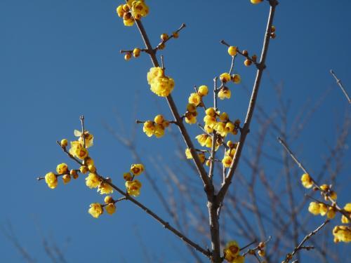 ロウバイの花には、青空が似合います。