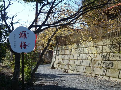 駐車場から神社の正面への通路の両側にもロウバイがあります。