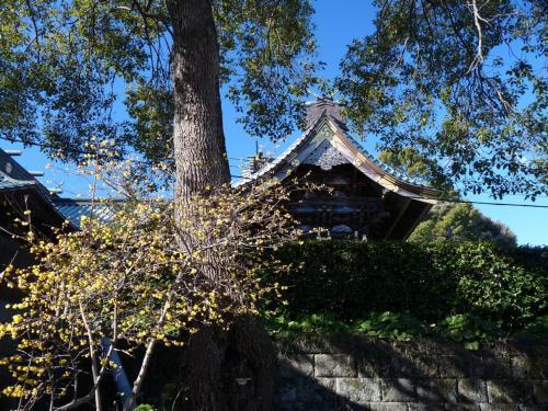 通路のロウバイの向こうに社殿の屋根が見えます。